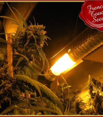 Guillotine (French Touch Seeds)