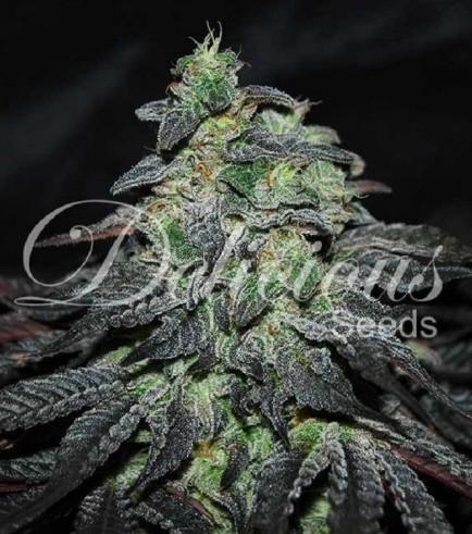 Golosa (Delicious Seeds)