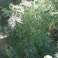 Tikal (Ace Seeds)
