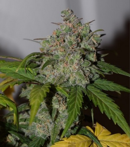 Tangie'matic (Fast Buds)