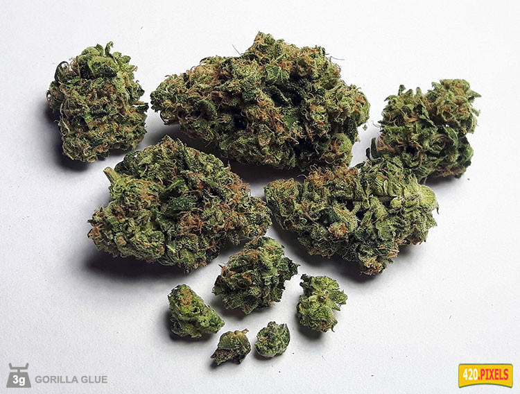 Gorilla Glue Review >> Gorilla Glue Strain Information Cannaconnection Com
