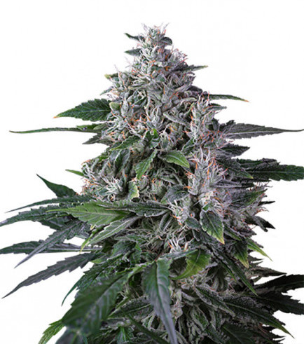 Karel's Haze (Super Sativa Seed Club)