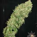 Caramella (Homegrown Fantaseeds)