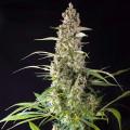 Prima Holandica (Super Sativa Seed Club)