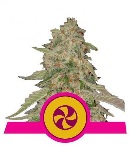 Sweet Zkittlez (Royal Queen Seeds)