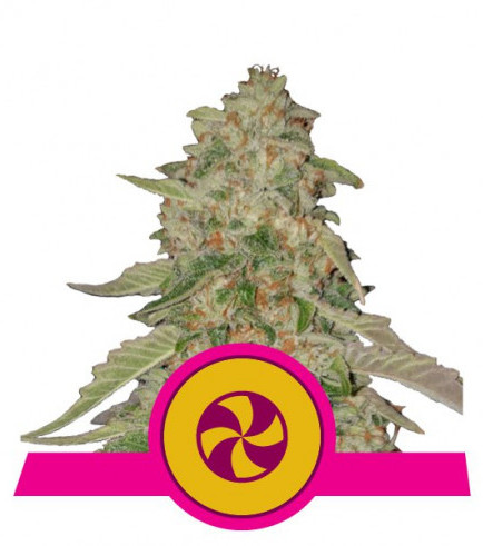 Sweet Zkittlez (Royal Queen Seeds)