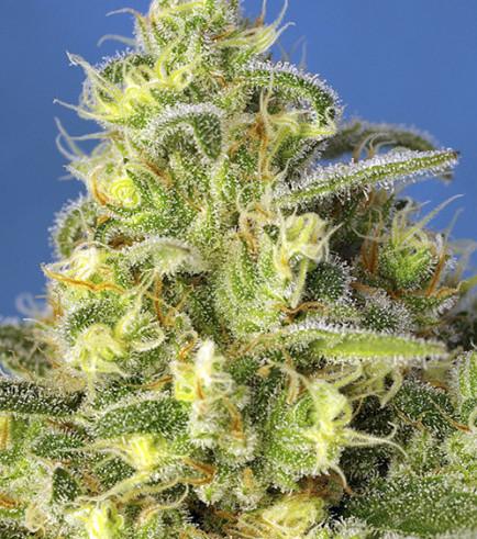Jack 47 XL Autoflowering (Sweet Seeds)
