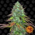 LSD Autoflowering (Barney's Farm)