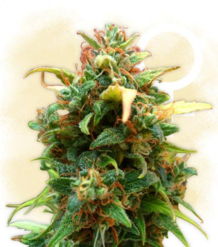 Amnesia Haze Autoflowering (Zamnesia Seeds)