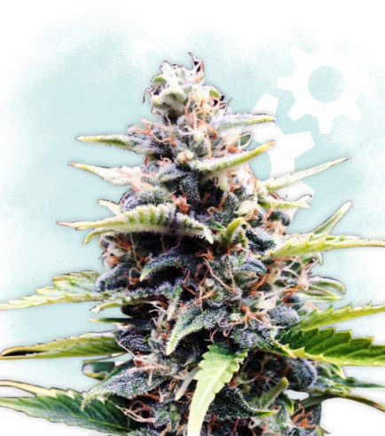 Amnesia Skunk Autoflowering (Zamnesia Seeds)