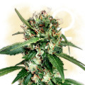Blue Dream (Zamnesia Seeds)