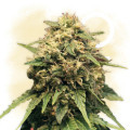 Cash Express (Zamnesia Seeds)