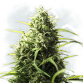 CBD Fix Autoflowering (Zamnesia Seeds)