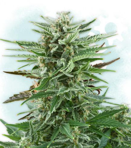 Cotton Bud Autoflowering (Zamnesia Seeds)