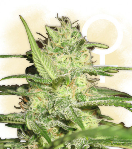 Critical (Zamnesia Seeds)