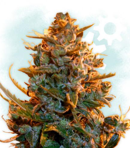 Critical Autoflowering (Zamnesia Seeds)
