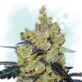 Critical Cheese Autoflowering (Zamnesia Seeds)