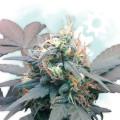 Diesel Autoflowering (Zamnesia Seeds)
