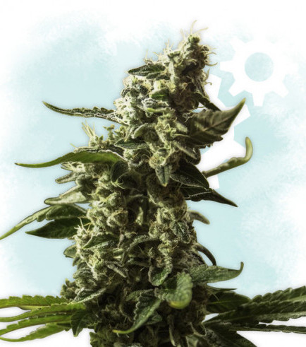 Gorilla Glue Autoflowering (Zamnesia Seeds)