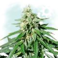 Jack Herer Autoflowering (Zamnesia Seeds)