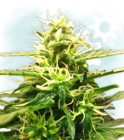 Lowryder 2 (Zamnesia Seeds)