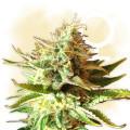 OG Kush (Zamnesia Seeds)