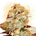 Choco Haze (Zamnesia Seeds)