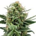 Jack Herer Autoflowering (Zativo Seeds)