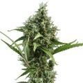 Amnesia Haze Autoflowering (Zativo Seeds)