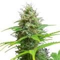 Sweet Candy Autoflowering (Zativo Seeds)