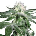 Hash Ultimate (Zativo Seeds)