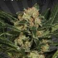 Candy Kush (Auto Seeds)