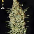 Neville's Haze (Greenhouse Seeds)