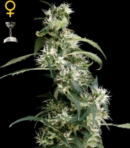 Arjan's Ultra Haze 2 (Greenhouse Seeds)