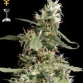 Arjan's Ultra Haze 1 (Greenhouse Seeds)