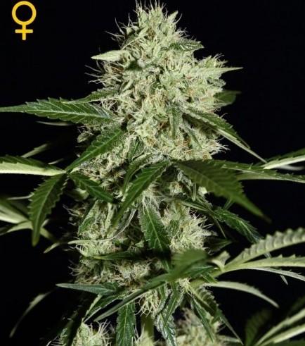 Northern Lights Autoflowering (Greenhouse Seeds)