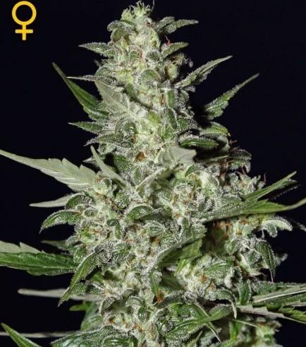 Super Critical Autoflowering (Greenhouse Seeds)