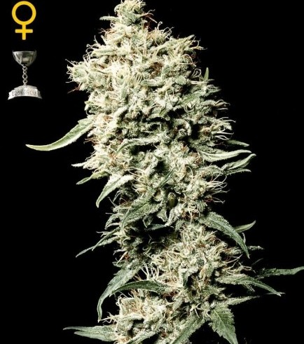White Rhino (Greenhouse Seeds)
