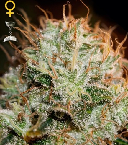Kaia Kush (Greenhouse Seeds)
