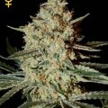 Himalaya Gold (Greenhouse Seeds)