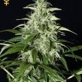 Kalashnikova Autoflowering (Greenhouse Seeds)