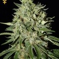 The Doctor (Greenhouse Seeds)