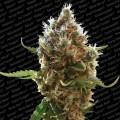 Lucid Bolt (Paradise Seeds)