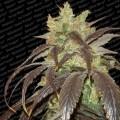 Spoetnik 1 (Paradise Seeds)
