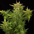 Fruit Autoflowering (Dinafem)