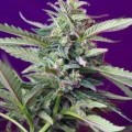 S.A.D. Sweet Afgani Delicious Auto (Sweet Seeds)