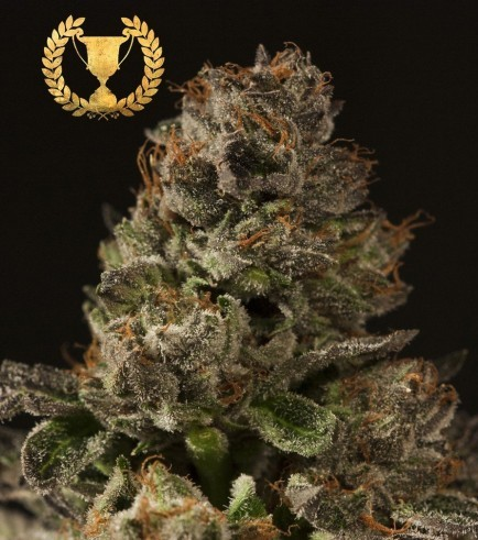 Strawberry Sour Diesel (Devil's Harvest Seeds)