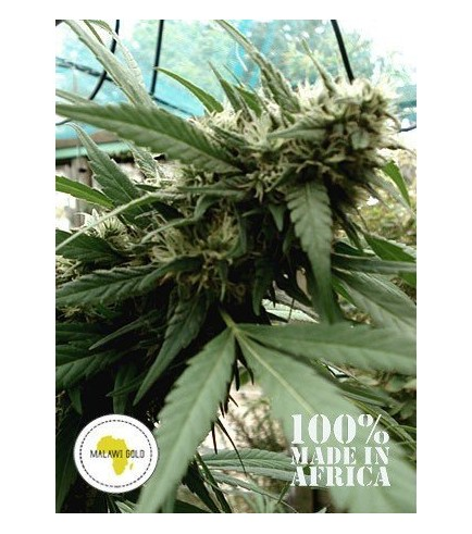 Malawi Gold (Seeds Of Africa)