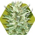 Vanilla Ice (Zambeza Seeds)