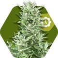 Big Bud XXL Autoflowering (Zambeza Seeds)